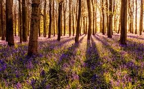 Wallpaper flowers, forest, bells, the sun, trees, grass, spring