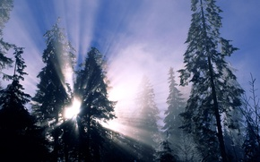Picture winter, forest, snow, trees, the sun's rays