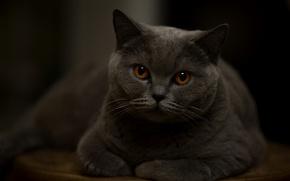 Picture cat, look, portrait, handsome