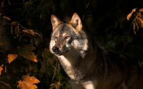Picture autumn, leaves, nature, animal, wolf, predator, maple