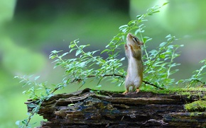 Picture Chipmunk, snag, stand