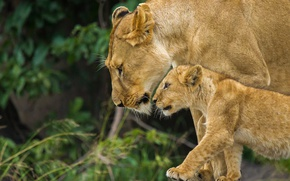 Picture family, lioness, lion