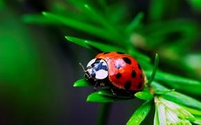 Wallpaper macro, leaf, ladybug