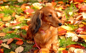 Picture autumn, leaves, dog, walk