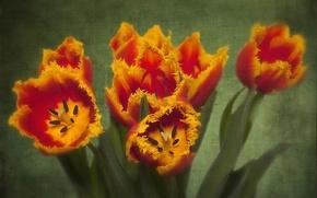 Picture texture, petals, tulips