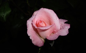 Picture flower, drops, macro, pink, rose