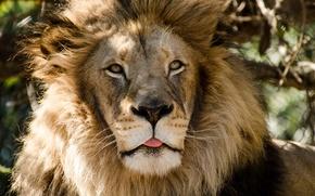 Picture language, face, predator, Leo, mane, wild cat
