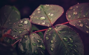 Picture leaves, drops, macro, after the rain