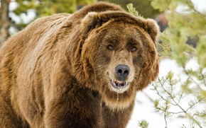 Picture nature, bear, beast
