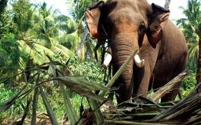 Picture elephant, kerala