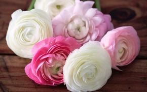 Picture flowers, petals, pink, white, buds, buttercups, ranunculus
