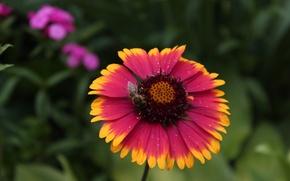 Picture Flowers, Bee, Gaillardia X Grandiflora Arizona Sun, Gaylardiya, Gaylardiya AZ San