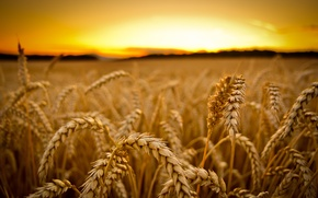 Picture wheat, field, macro, sunset, harvest, ears, cereals