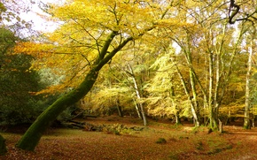 Picture autumn, forest, leaves, trees