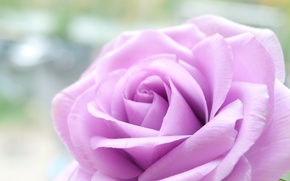 Picture flower, flowers, rose, lilac rose