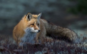 Picture plants, Fox, fur, red, great focus