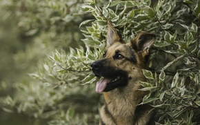 Picture face, branches, portrait, dog, shepherd, German shepherd