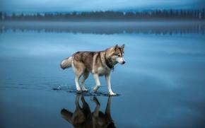 Wallpaper Dog, husky, water, nature