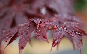 Picture leaves, drops, Rosa, branch, after the rain, red, bokeh, Japanese maple