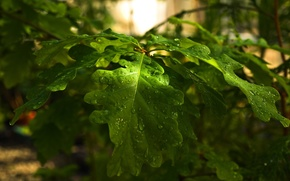 Picture forest, leaves, drops, nature, tree, branch, day, oak, oak, might, strongh
