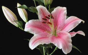 Picture macro, pink, Lily, buds