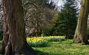 Picture trees, flowers, Park, yellow, lantern, UK, daffodils, York, Museum Gardens