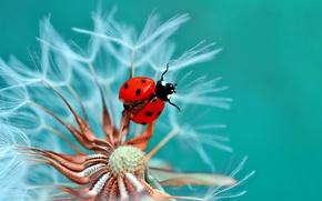 Picture flower, macro, dandelion, ladybug, beetle