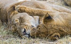 Picture cat, pair, lioness, ©Tambako The Jaguar