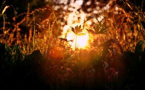Picture grass, sunset, nature, sun glare