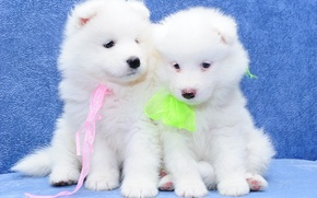 Picture dogs, puppies, a couple, Samoyed