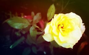 Picture rose, yellow, reddish
