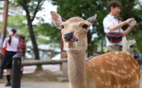 Picture animals, deer, tongue, other, jackly