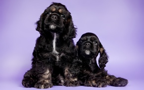 Picture puppies, Duo, Cocker spaniels