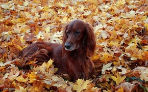 Picture autumn, leaves, dog, setter