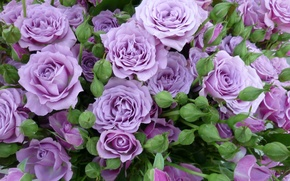 Picture roses, buds, lilac roses