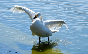 Picture animals, white, lake, pond, widescreen, wallpaper, Swan, white, widescreen, background, the Wallpapers, full screen, HD …