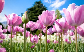 Picture field, the sky, trees, nature, petals, meadow, tulips