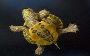 Picture animals, macro, turtle