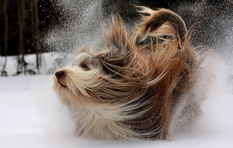 Photo wallpaper winter, snow, movement, dog, walk