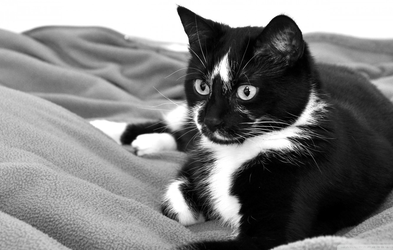 Photo wallpaper cat, black and white, lies