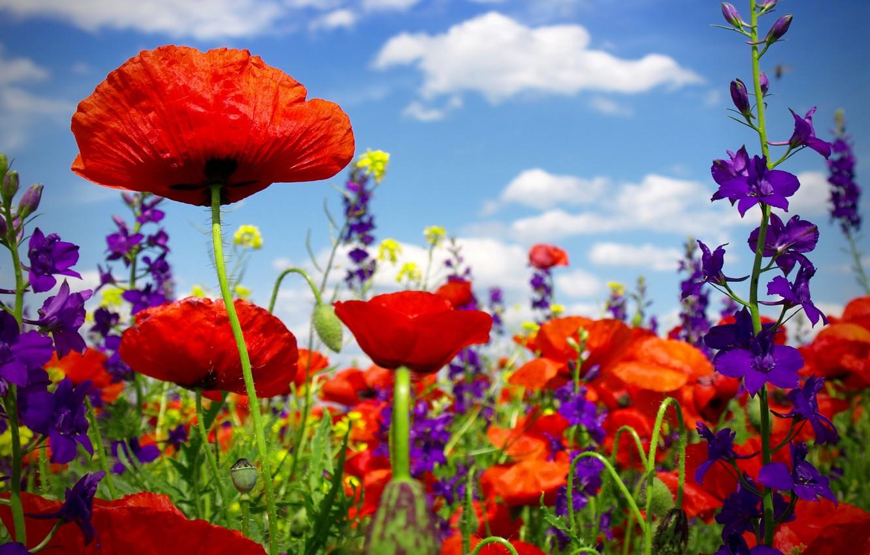 Wallpaper Summer Flowers Maki Flowering Field Poppy Poppy Field Wild Flowers Images For Desktop Section Cvety Download