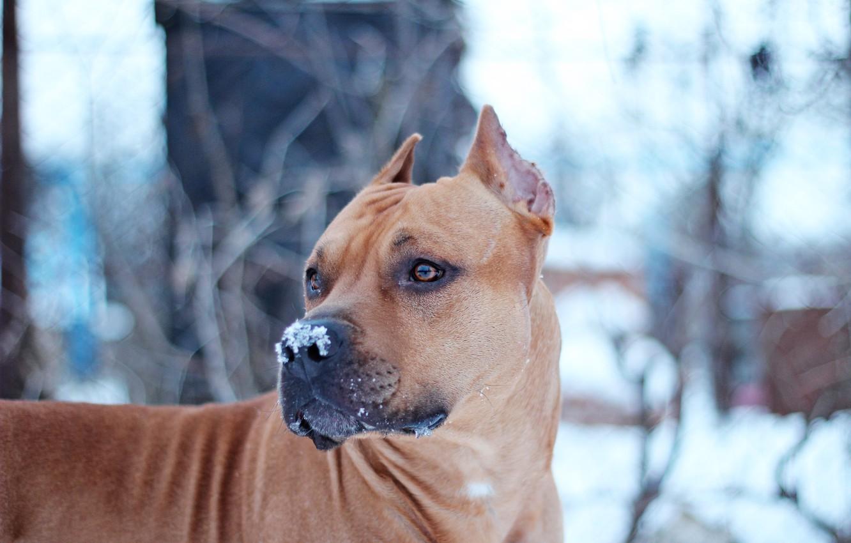 Photo wallpaper Dog, Snow, Staffor