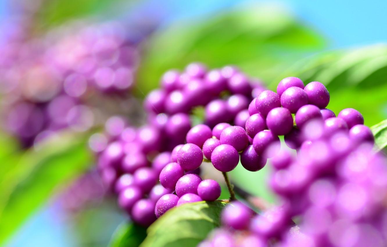 Photo wallpaper droplets, Rosa, glare, berries, lilac, bokeh, calicarpa, cranioplastic, purpleberry
