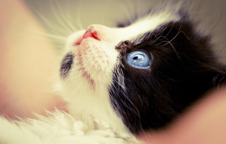 Photo wallpaper cat, macro, black and white, muzzle, kitty, blue eyes, friendly
