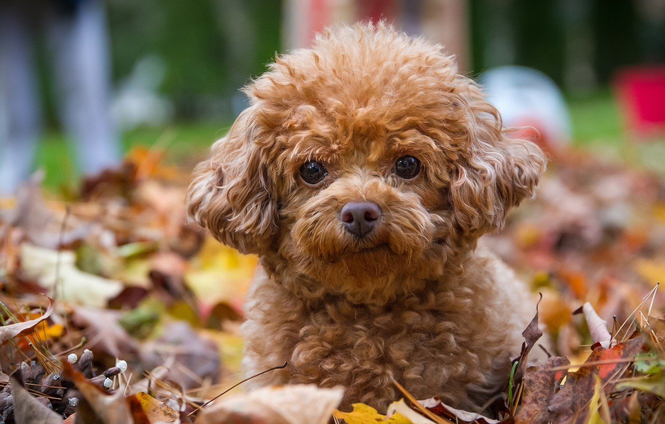 Photo wallpaper look, leaves, dog, puppy, poodle