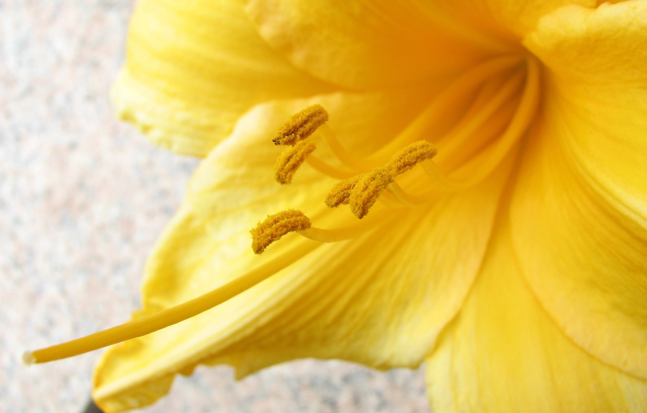 Photo wallpaper flower, macro, yellow, pollen