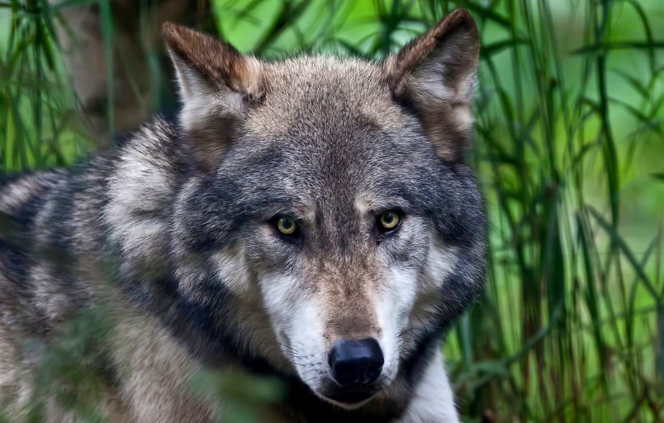 Photo wallpaper eyes, look, face, nature, background, wolf, predator