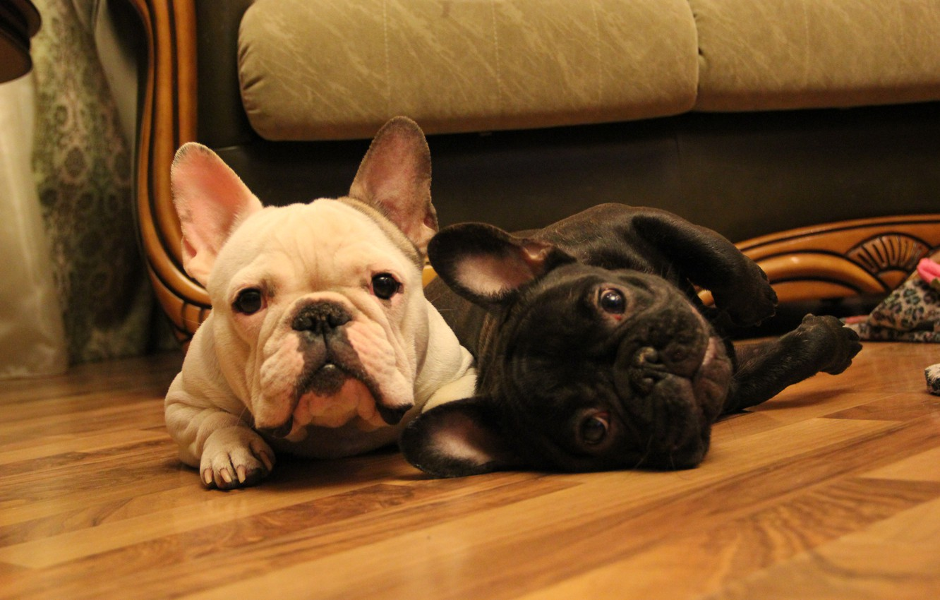 Photo wallpaper look, tiger, French bulldog, French Bulldog, white-fawn, two of the muzzle