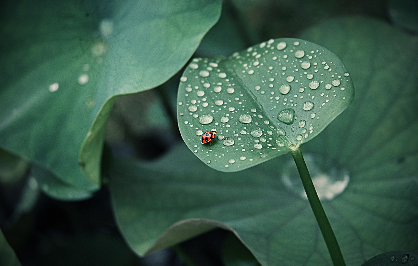 Photo wallpaper leaves, drops, Rosa, ladybug, insect, round