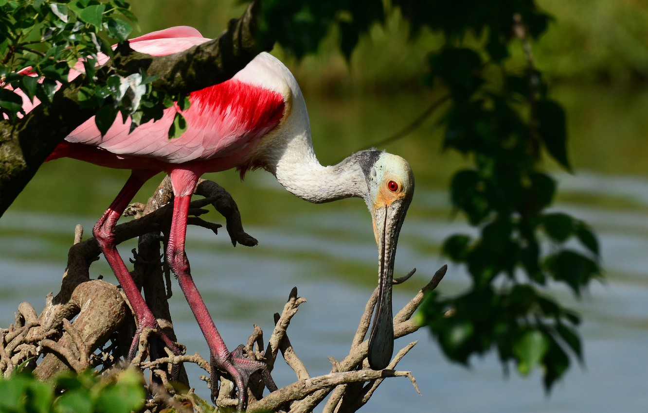 Photo wallpaper trees, branches, bird, foliage, pond, driftwood, roseate spoonbill, Wallpaper from lolita777